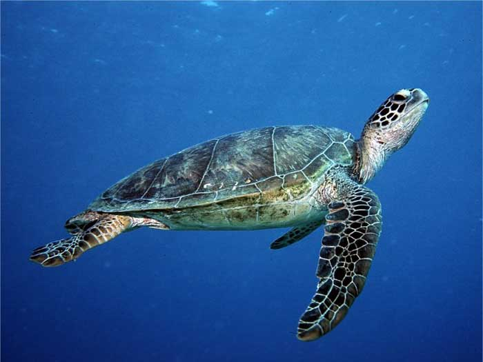 Where to find Turtles at the Similan islands?