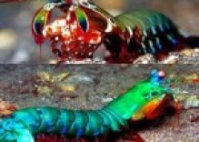 The Mantis Shrimp