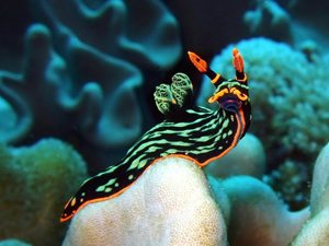 nudibranch