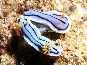 nudibranchs sex