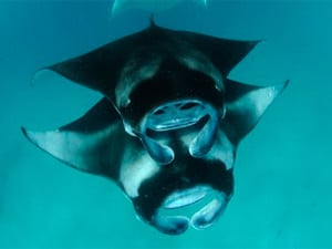 manta ray breeding