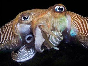 cuttelfish mating