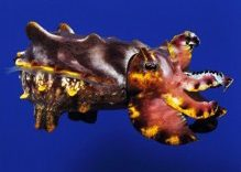 The Mysterious Cuttlefish at Similan Islands Thailand