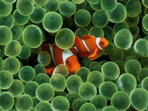 clown fish symbiosis