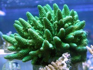 Digitate corals