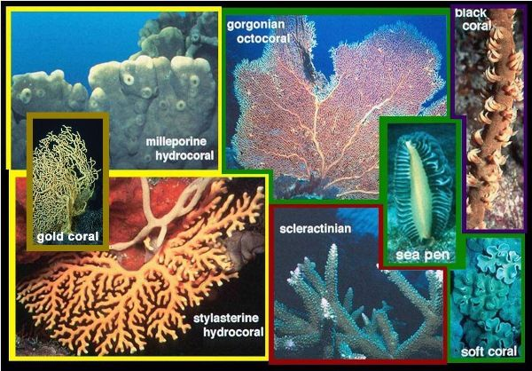types of soft corals