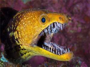 Moray Eel FangTooth